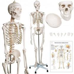 Kostra ľudskej anatómie 181,5 cm